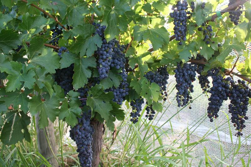 grapes01